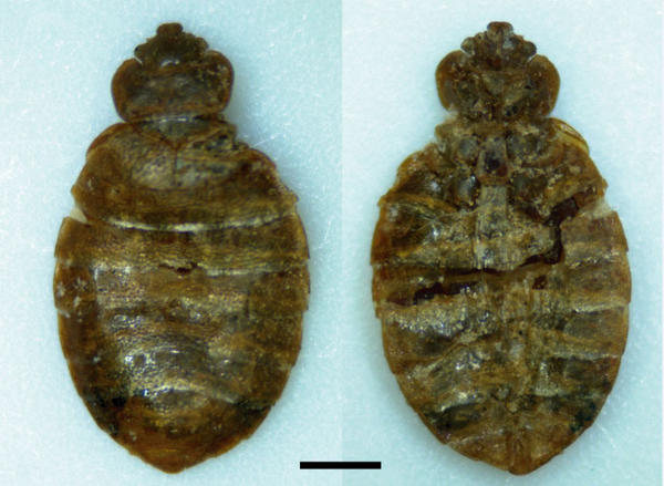 This female Cimex antennatus is approximately 5,100 years old. Scale bar at the bottom represents one millimeter.