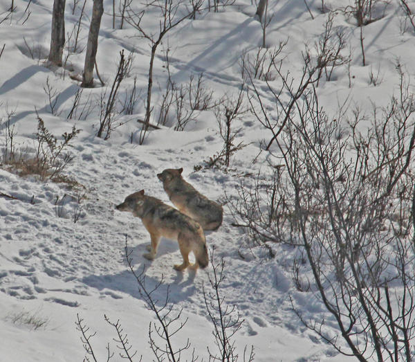 The last two wolves on Isle Royale.