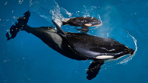 Mother Takara with her as-yet-unnamed newborn at SeaWorld San Antonio.