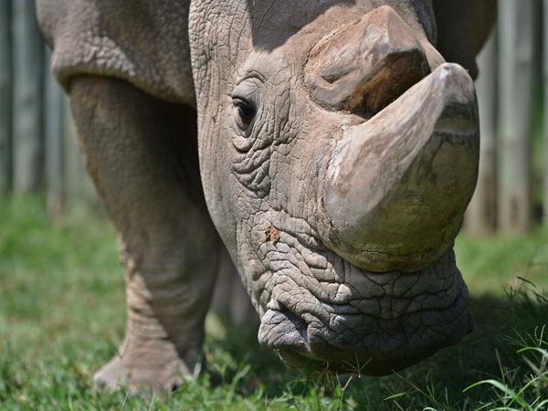 Sudan, the last known male of the northern white rhinoceros subspecies, stands for his close-up in a paddock last year at the Ol Pejeta Conservancy in Kenya. If Tinder users swipe right on Sudan's profile, they're taken to a page asking for contributions to help him reproduce.