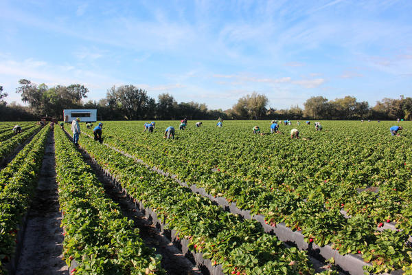These workers are harvesting strawberries for Fancy Farms, near Plant City, Fla.