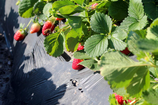 Strawberries in the field, near Plant City, Fla.