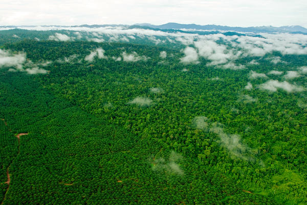 A forest eaten away by oil: The Borneo rain forest has been clear-cut faster than any other tropical forest, with nearly a third destroyed since the 1980s. Large companies and small shareholders have turned a big chunk of that land into palm oil plantations.<strong> </strong>