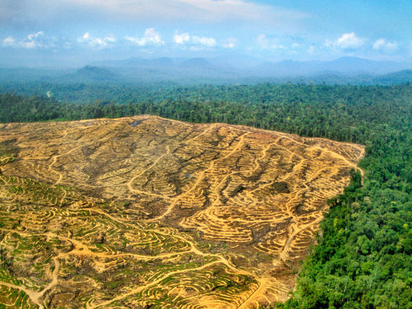 "Opening Pandora's box: Once pristine rain forest in Borneo, the land on the left has been clear-cut for a palm oil plantation. Everytime people cut into forests, they create ""edges,"" where people come into contact with animals — and their viruses."