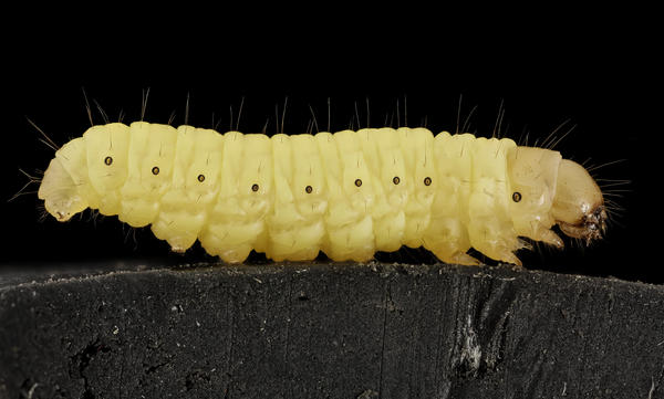 The larvae of <em>Galleria mellonella</em>, commonly known as a wax worm, is able to biodegrade plastic bags.
