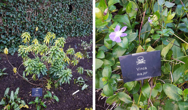 (Left) Sap from <em>Daphne laureola</em>, causes rashes, and the black berries that appear in late summer are toxic to people — but not to birds, which eat them happily. (Right) <em>Vinca major</em> is a periwinkle once used in herbal medicine to treat low blood pressure.
