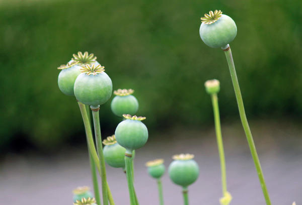 Heroin and morphine can be made from opium poppies like these.