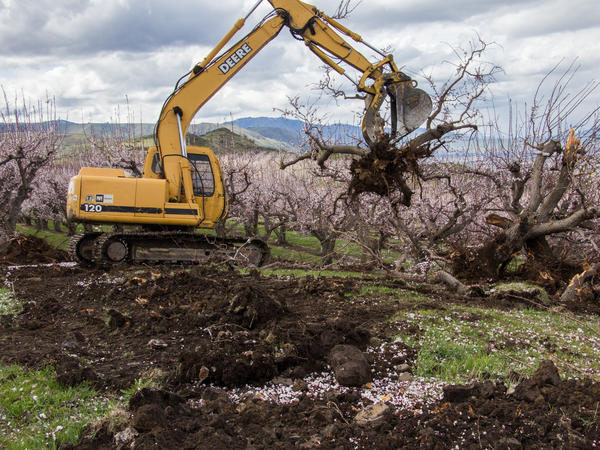 Apricot trees are removed to make way for Cosmic Crisp.