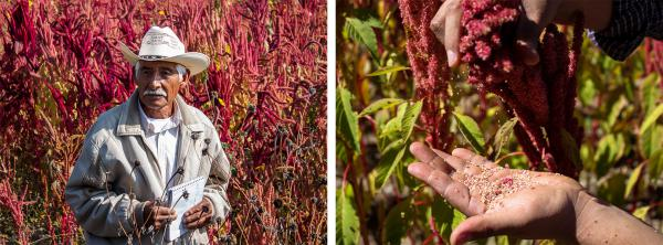 (Left) Farmer Adolfo Lopez of San Andrés Zautla, Oaxaca, is an amaranth grain and leaf producer. (Right) The amaranth varietal Nutrisol grows in a field in Mixteca Alta, Oaxaca.