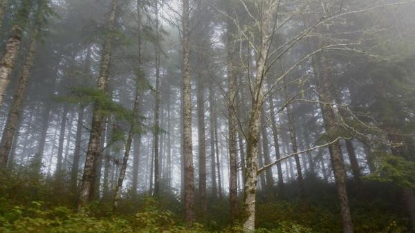 <p>Coast Range fog settles on the Elliott State Forest near Coos Bay.</p>