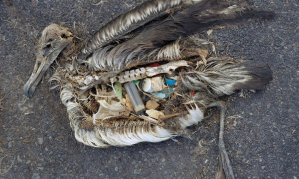 <p>The unaltered stomach contents of a dead albatross chick photographed on Midway Atoll National Wildlife Refuge in the Pacific in September 2009 include plastic marine debris fed the chick by its parents.</p>