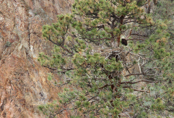 <p>Bald eagles nest in Smith Rock State Park every year. Wildlife officials worry about the impacts a major influx of visitors may have on bald eagles and other species.</p>