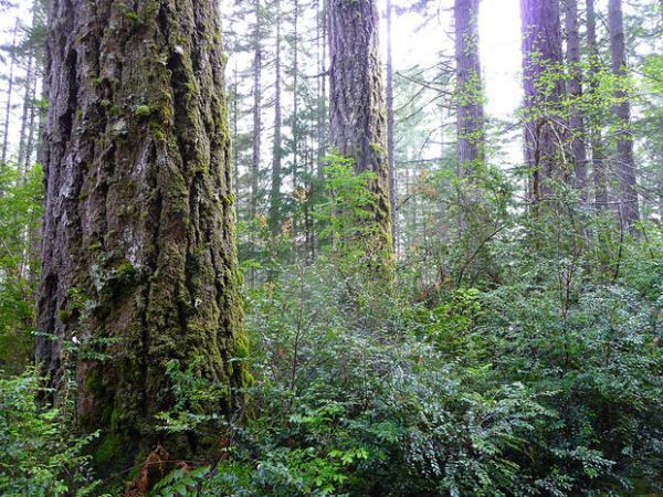 <p>The Elliott State Forest.  Coastal old growth, like that found in the Elliott State Forest, is prime nesting habitat of the threatened marbled murrelet.</p>