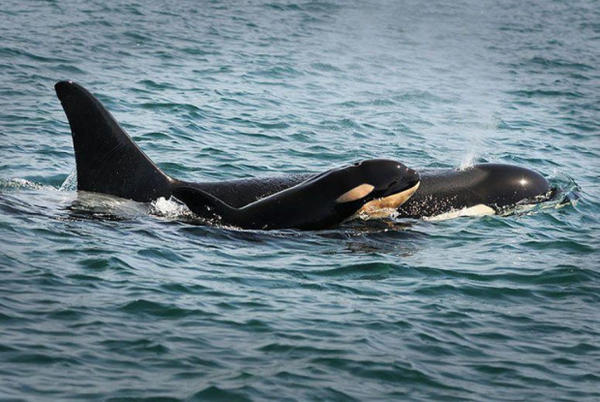 <p>L122, one of the newest members of the Southern Resident Community of orcas, spotted Sept. 7 near Sooke, British Columbia.</p>