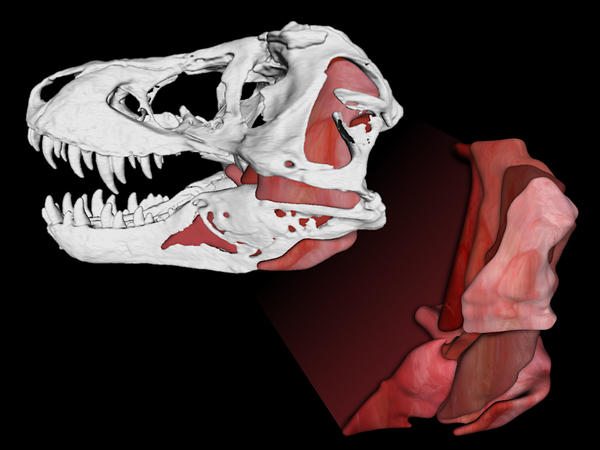 <em>Tyrannosaurus rex</em> jaws generated 8,000-pound bite forces and let the creature eat everything from duck-billed dinosaurs to triceratops.