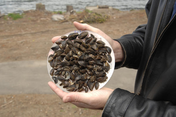 Zebra mussels attach to hard surfaces and can damage infrastructure.