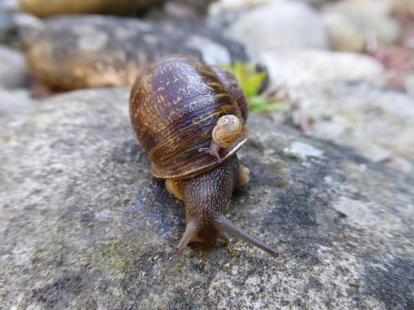 Rare snail Jeremy with the offspring of its two former suitors.