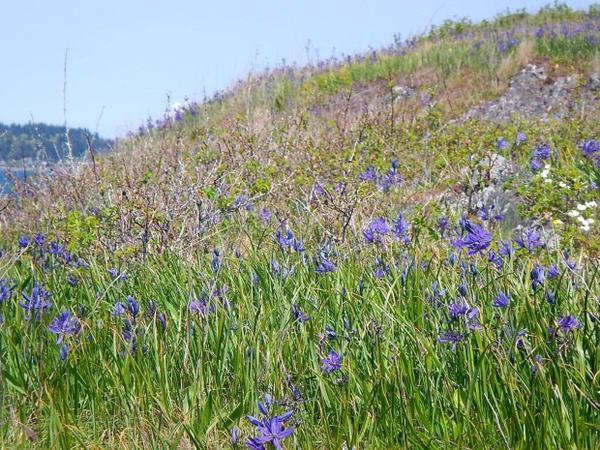 <p>Camas meadow on Kiket Island on the Swinomish Reservation near Anacortes, Washington.</p>