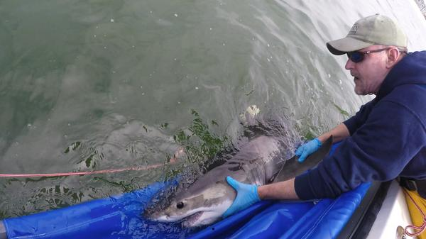 Researcher Chris Lowe releases a juvenile white shark earlier this spring.
