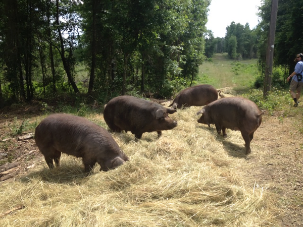 Pigs graze in forests on Mahaffey Farms in Princeton, Louisiana.