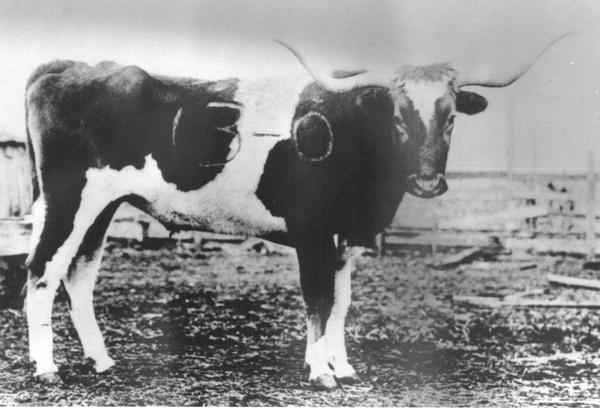 """A photo of the first Bevo circa 1917, after it was branded """"13-0"""" by Aggies from Texas A&M."""