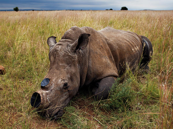 An anesthetized rhino is left to wake up after a dehorning procedure administered to decrease the risk of poaching.