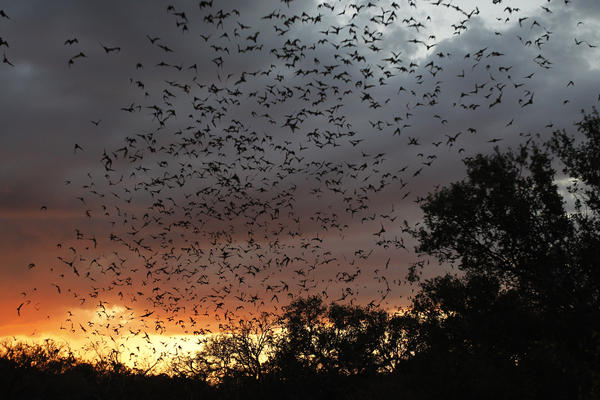 Millions of bats emerge from Bracken Cave, near San Antonio, in 2011. The cave is located in a rural area, but conservationists are worried that a planned housing development nearby will disturb the bat colony that lives here.