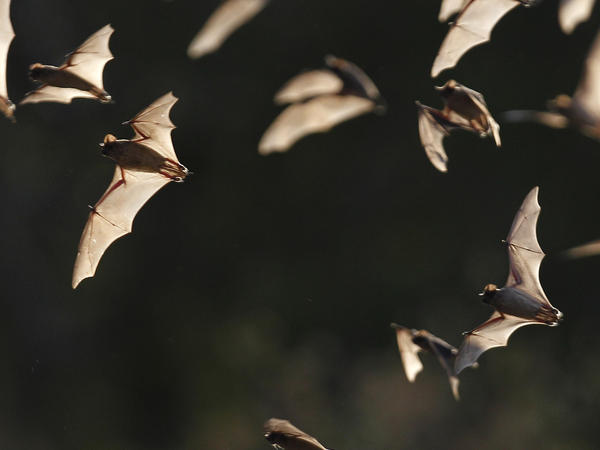 Millions of bats live in Bracken Cave, in a rural area near San Antonio. Conservationists are worried that plans for a multithousand-unit housing development will disrupt the bat colony.