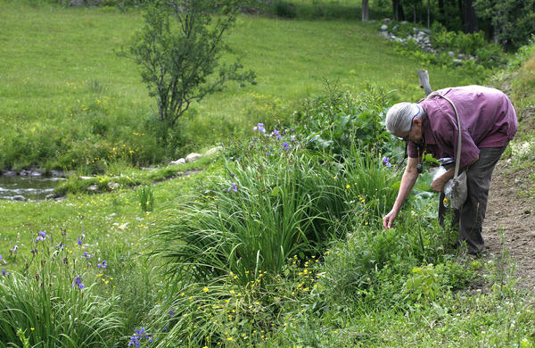Nova Kim gathers wild greens for a picnic salad near her home in Fairlee, Vt.
