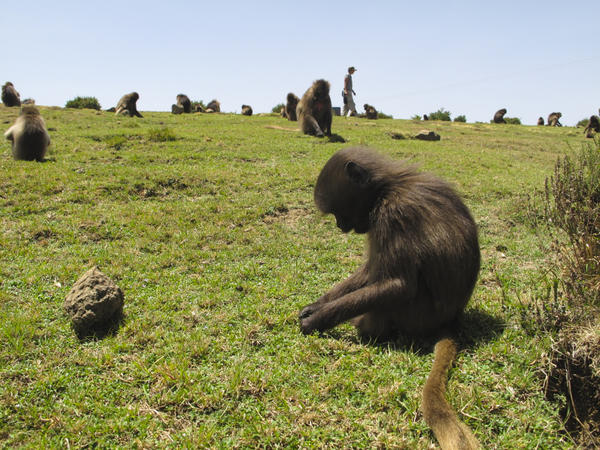 Geladas live in massive social groups of up to 1,000 monkeys.