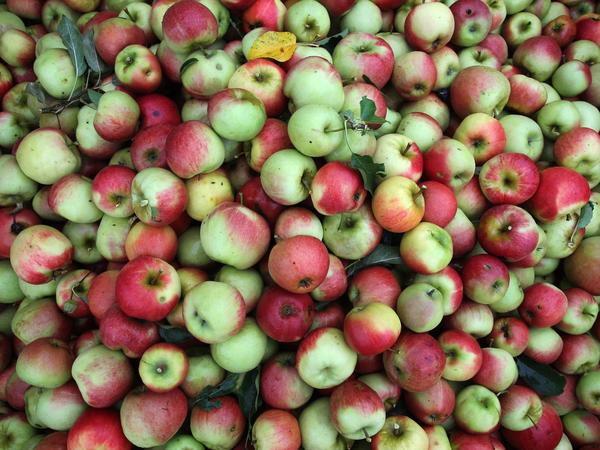 Apples harvested from an orchard near Lindau, Germany, wait for processing in September. Fruit growers all around the world are looking to technology to speed up apple picking and packaging.