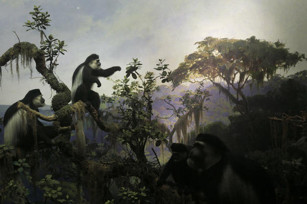 The Colobus Monkeys diorama at the American Museum of Natural History in New York, completed in 1941.