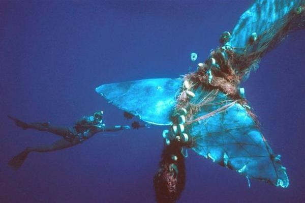 A sperm whale entangled in a drift net. A report says commercial fisheries around the world kill or injure 650,000 mammals a year.