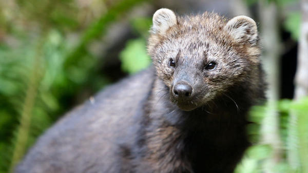 Fishers are among the small carnivores threatened by rat poisons used to guard plants at illegal marijuana<strong> </strong>farms.