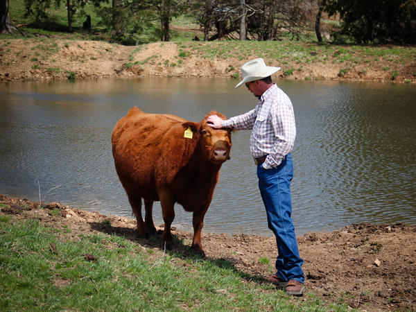 Miller with one of his cows.