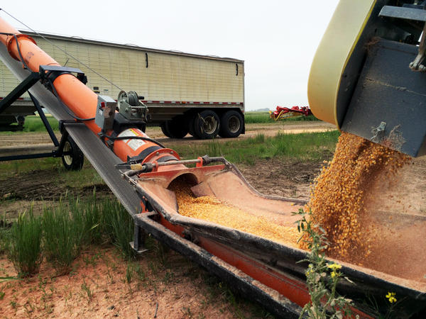 Corn is loaded onto a truck on Larry Slaubaugh's farm in Wolford, N.D. He's seen a big shift from wheat to corn in recent years.