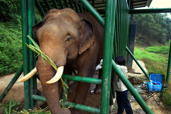 Elephants, unlike humans or civets, are herbivores. The fermentation happening in their gut as they break down cellulose helps remove the bitterness in the coffee beans. Here, an elephant receives medical treatment from the Golden Triangle Asian Elephant Foundation.