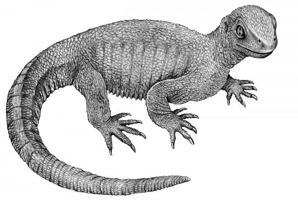 An illustration of <em>Pappochelys</em>,<em> </em>based on its 240-million-year-old fossilized remains. This ancestor to today's turtle was about 8 inches long.