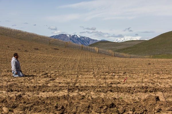 A worker takes a break after planting young Cosmic Crisp trees in an orchard near Wenatchee, Wash.