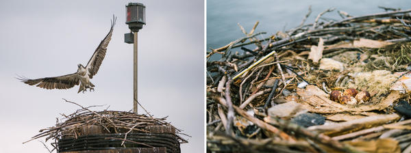 Ospreys nest on the Frederick Douglass Memorial Bridge spanning the Anacostia River. (Right) Four osprey eggs are inside the nest.