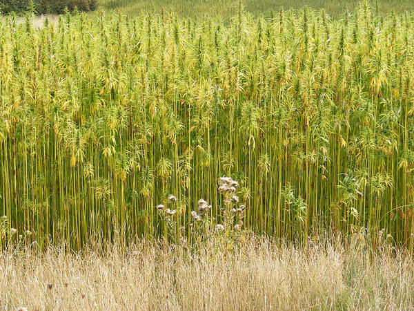 File photo of a hemp field in Suffolk, England.