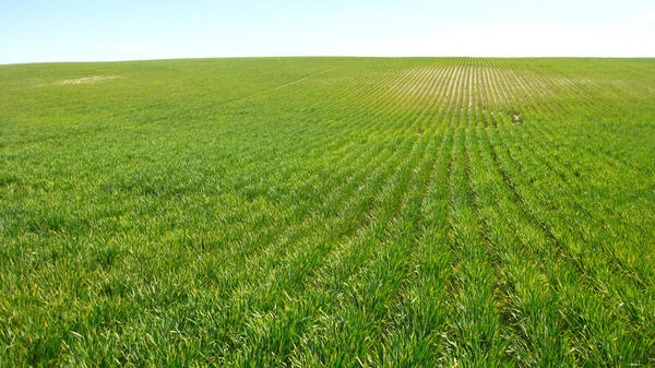 Patches of stripe rust infection in a commercial field  near Davenport, Washington.