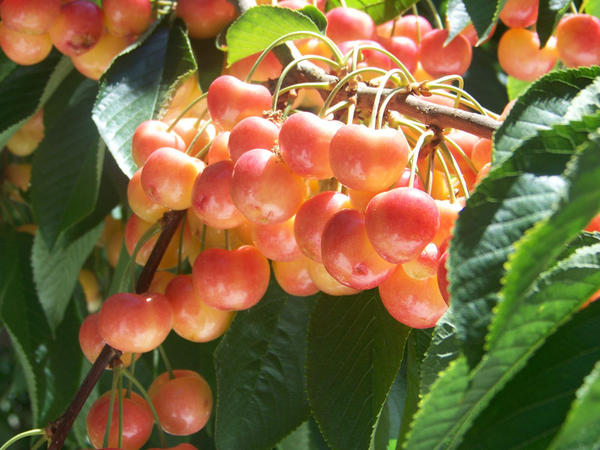 File photo. China is one of the top export markets for Northwest cherries.
