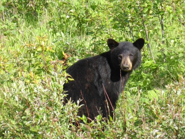Over the past five years, black bears have damaged more than 600 hives across the state, costing beekeepers nearly $150,000.
