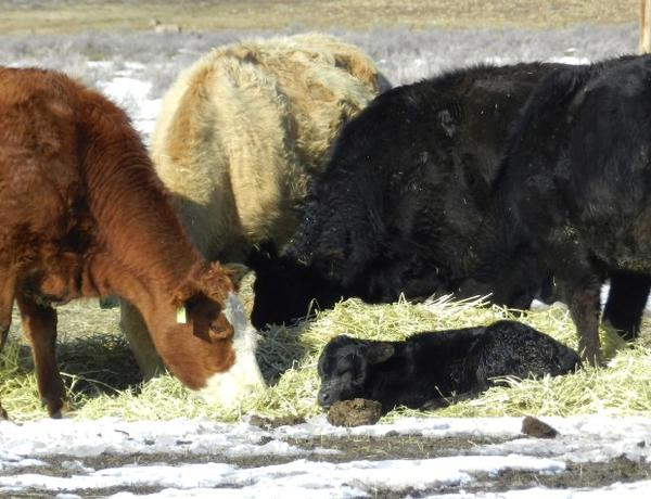 "<p>Cattle rest and feed at the Ketscher Cattle Co. ranch near Burns, Oregon. Owner Angie Kestcher, who has lived on the ranch for more than 20 years, says ""the joy that you get when you get to watch a cow have a calf is indescribable.""</p>"