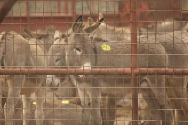 "Donkeys with ""kill tags,"" wait in export pens in Eagle Pass, Texas, destined for slaughterhouses in Mexico. Chinese are buying up donkey skins around the world to use in making traditional medicine."