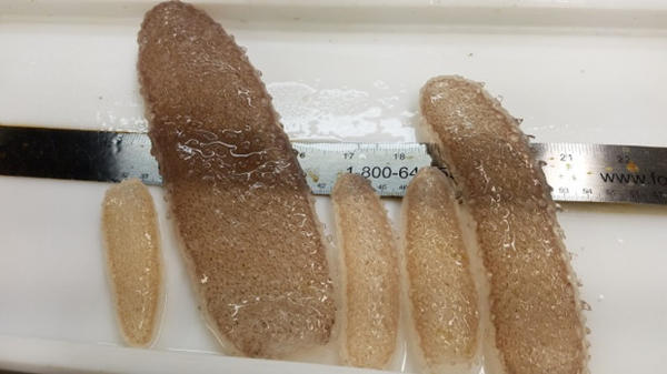 <p>Pyrosomes collected off the Oregon coast range in size from a few inches to more than two feet long.</p>