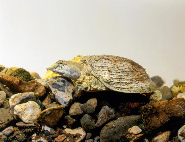 Cholera bacteria can colonize the outer surfaces of the Chinese soft-shell turtle, a species that's found in parts of Asia.