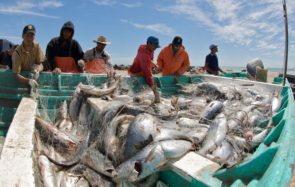 Fishermen unload Gulf corvina from a net. Catches from a single boat can exceed a ton and lead to overfishing.