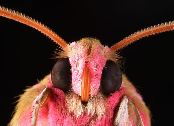 <em>Deilephila elpenor, </em>commonly called the elephant hawk-moth, has specialized eyes that don't reflect light. Such moths inspired scientists to invent an anti-glare coating for smart screens.